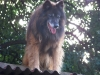 Belgian Tervuren, 11, a combination of brown, black and white